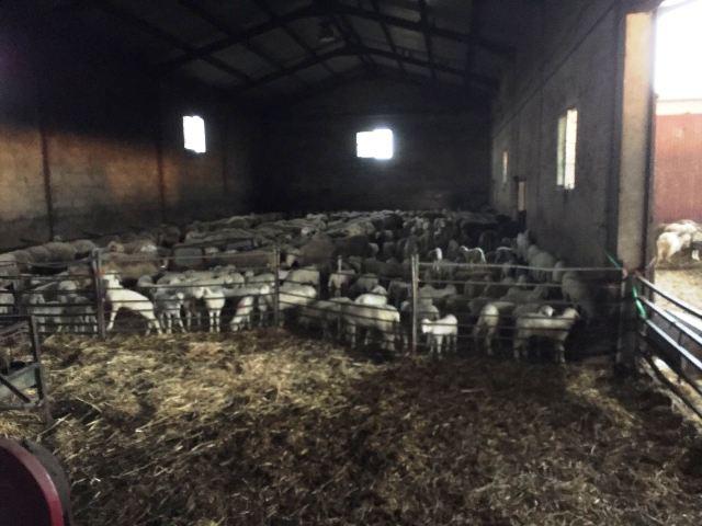 sector ovino 2