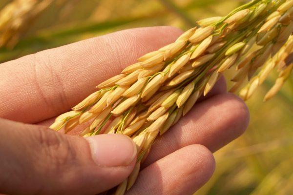 agriculture asia autumn barley