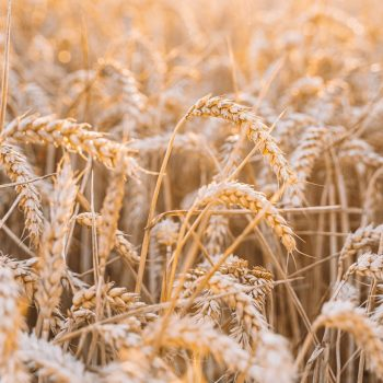 dry wheat field in countryside during sunset